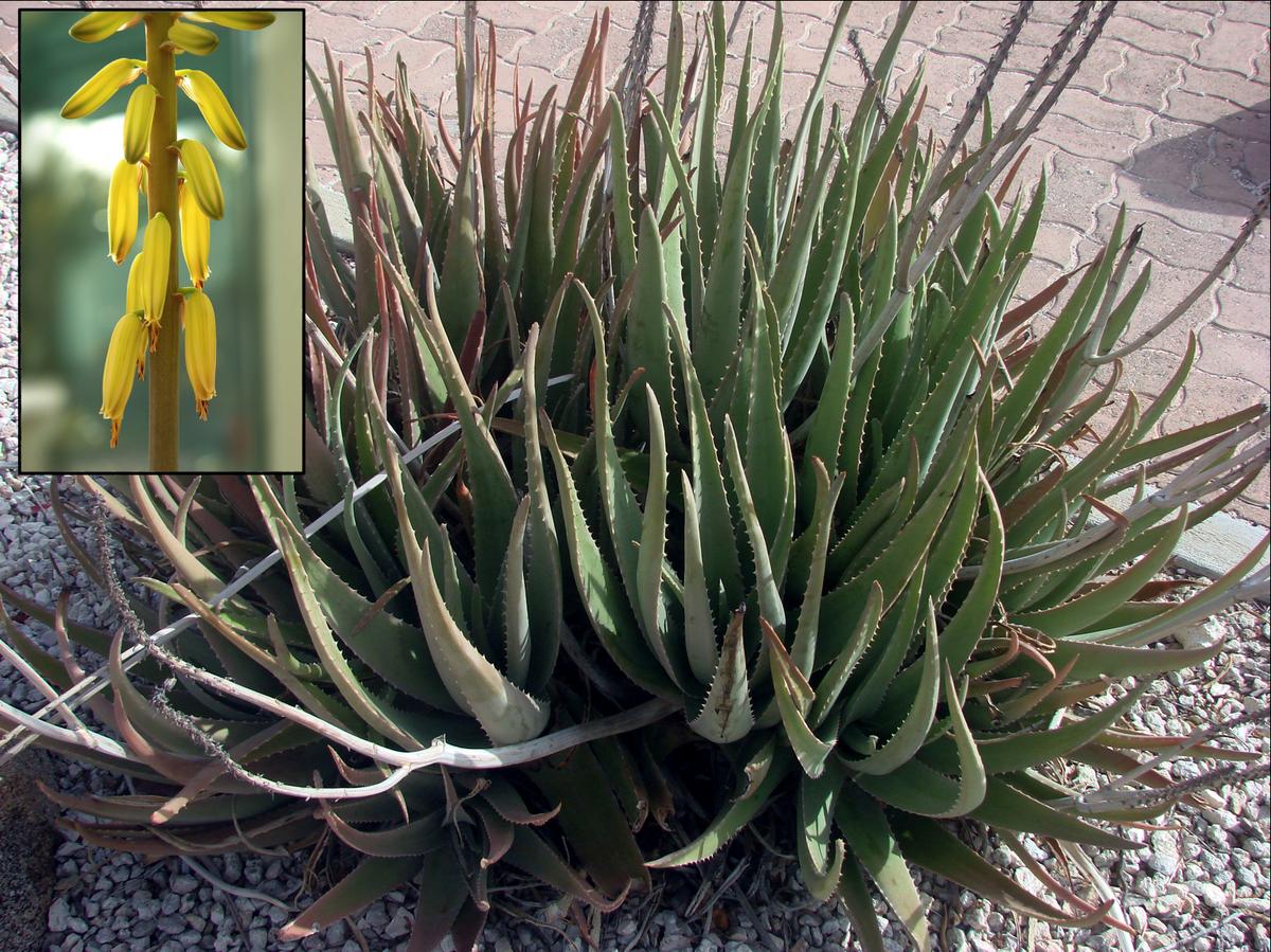 Az aloe vera előnyei - milyen hatással vannak a tápanyagok az egészségünkre