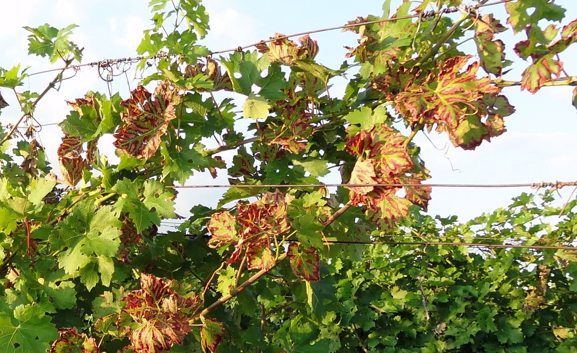vörös foltok a szőlő levelein hogyan kell kezelni